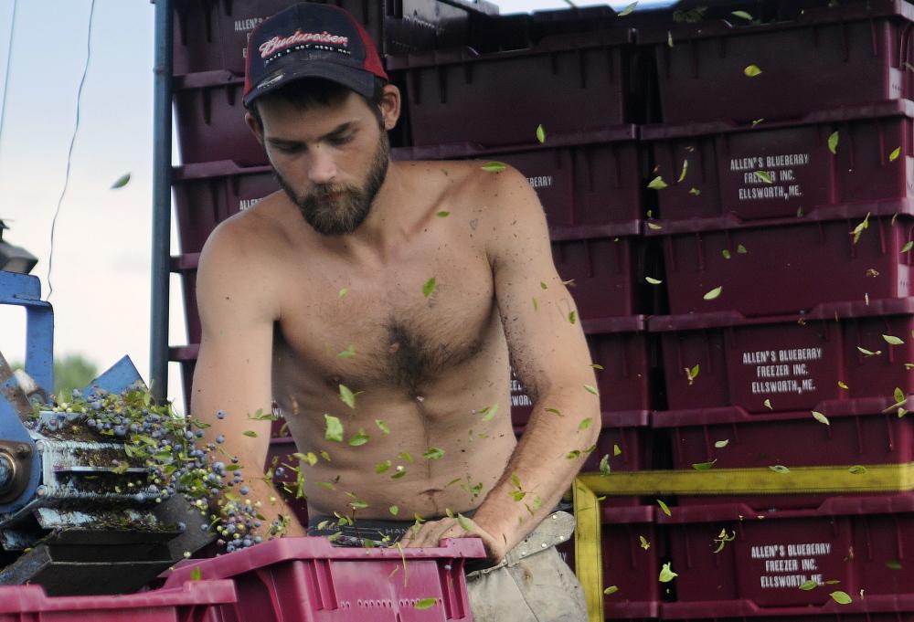 David Crandall of Oakfield winnows blueberries Monday at a barren in Dresden.