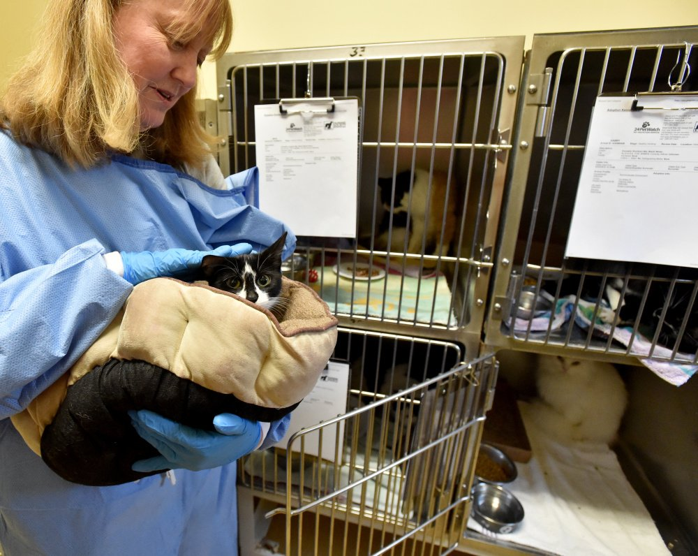 Lisa Smith, with the Humane Society Waterville Area, handles a cat at the Humane Society on Webb Road in Waterville on Wednesday. It was one of 33 animals surrendered by a Clinton family this week.