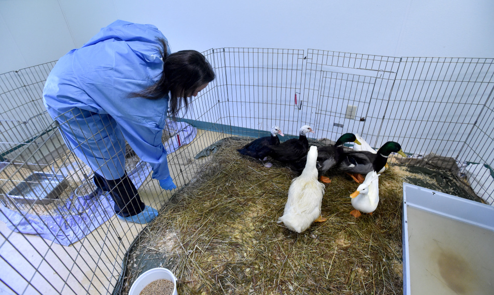 Crystal Jackson, a kennel tech at the Humane Society Waterville Area on Webb Road in Waterville, feeds several ducks on Wednesday.  The ducks were among 33 animals surrendered by a family in Clinton Tuesday and Wednesday.