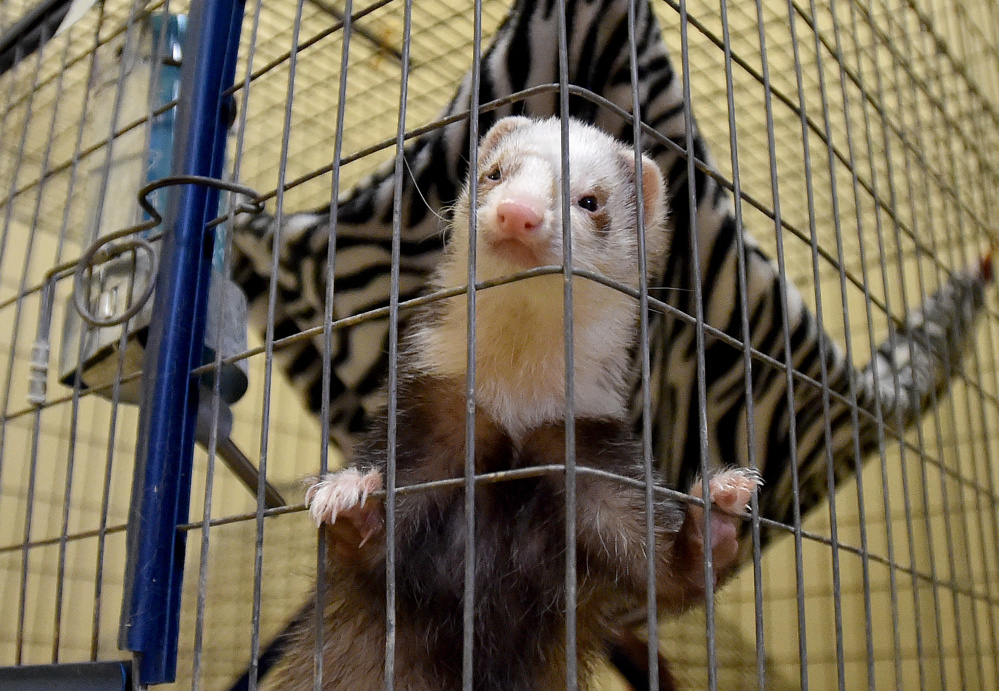 A ferret inspects the room that he and his other ferret friend now live in at the Humane Society Waterville Area on Webb Road in Waterville on Wednesday. The ferrets were among 33 animals surrendered by a family in Clinton Tuesday and Wednesday.