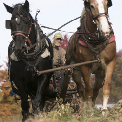 Ken Lamson harvests potatoes at New Beat Farm in Knox on Wednesday, using draft horses Star, left, a Percheron, and Jewel, a Belgian, to pull the mechanical harvester.