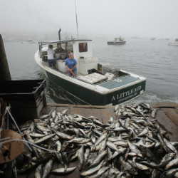 David Jones pulls away from the bait shed at Greenhead Lobster in Stonington as Felishia Taylor hoses down the deck last month. The price of herring has remained high this season.
