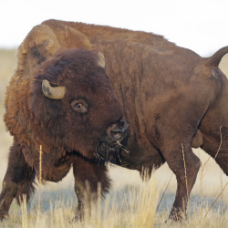 Once corralled, this bison will be weighed, tagged and given its annual health checkup.