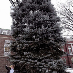 Waterville firefighter Robert Shay strings Christmas lights in November 2002 on top of a blue spruce tree in Castonquay Square beside City Hall as Chief Executive Assistant Tracey Steuber strings lights at the base. On Tuesday, the dying tree was removed.